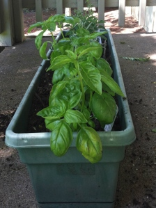 Our first garden! Yay for fresh basil.
