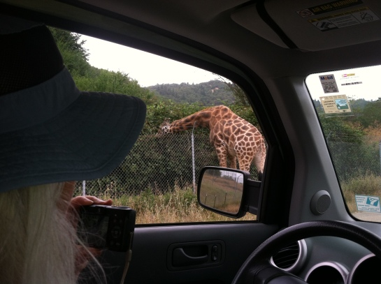 Look at that! A giraffe right outside our car window! My life is exciting!